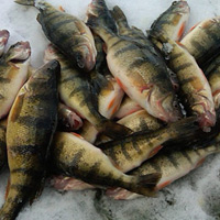 Image link, a pile of fish